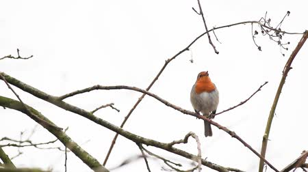 mus : an European Robin is looking for dangerous on an tree
