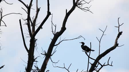 on the top of a tree there is a cormorant