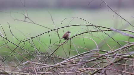 an European Robin is looking for dangerous on an tree