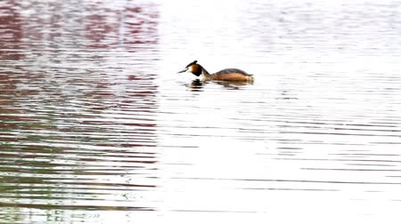pound : in the park of the city there is a grebe on the water Stock Footage