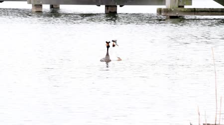 cristatus : in the park of the city there is a grebe on the water Stock Footage