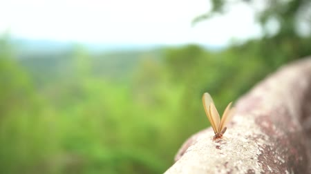 queen ant : winged termites emerge after a rainfall and in the evening Stock Footage