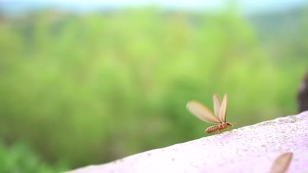 insects isolated : winged termites emerge after a rainfall and in the evening Stock Footage