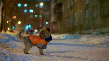 テリア : Yorkshire terrier dog in orange down jacket stands on a snowy city street at night. She is lost and can not find the owner