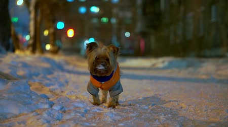 yorkie : Yorkshire terrier dog in orange down jacket stands on a snowy city street at night. She is looking for a master, her hands are cold