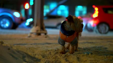 overall : Yorkshire terrier dog in orange down jacket got lost on a snowy city street at night. Cars are going, he is trembling and he is scared