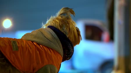 terier : Yorkshire terrier dog in orange down jacket got lost on a snowy city street at night. Snow is falling, he is trembling and scared Wideo