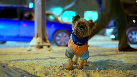 zima : Yorkshire terrier dog in orange down jacket got lost on a snowy city street at night. Cars are going, he is looking for a master, he is trembling and he is scared