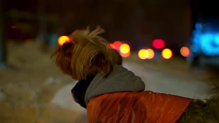 yorkie : Yorkshire terrier dog in orange down jacket got lost on a snowy city street at night. He found the owner and barks