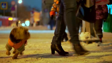 発見 : Yorkshire terrier dog in orange down jacket got lost on a snowy city street at night. He found the owner and happy