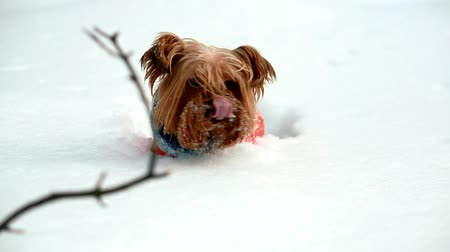 терьер : Yorkshire terrier stuck in deep snow. He gets out of the snow