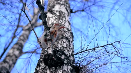 bétula : Squirrel sits on the branches of a tree in winter. She nibbles his nuts and looks down Vídeos