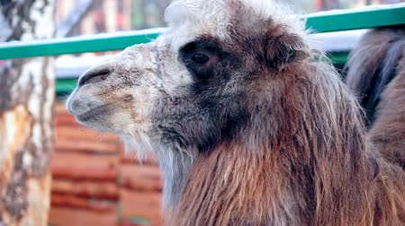 koşullar : Close-up of the face of a camel. Standing outside in the winter. Moving his jaw. Stok Video