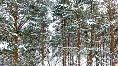 aerialphotography : Winter Forest Aerial View. The drone takes off near snow-covered pine Stock Footage