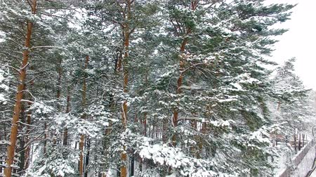 aerialphotography : Winter Forest Aerial View. Drone flies to the pines. Snow-covered branches in front