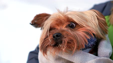 izgatott : Close-up of a Yorkshire Terrier in a winter snowy Park holding a dog wrapped in a blanket. Hes cold and shivering