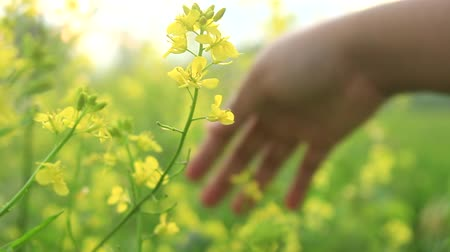 rape oil : a Girl Hand Stroke Canola Yellow Flowers