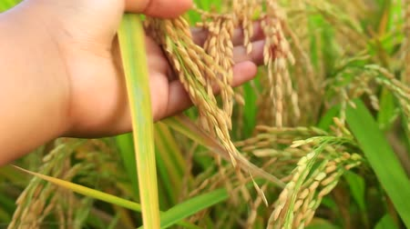 brown rice : Womans Hand Holding a Stem of Yellow Ripe Rice `Crops