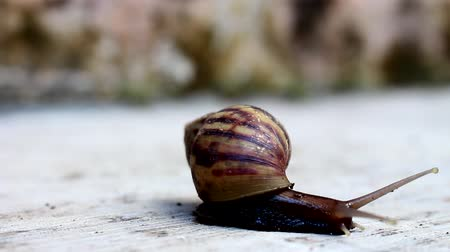 balçık : Large snails with brown stripes walk on the cement floor