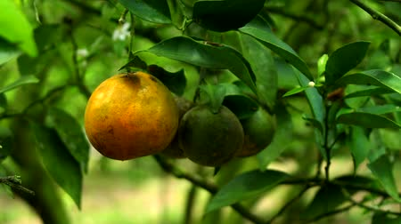 citrom és narancsfélék : The ripe and not oranges sway because of wind
