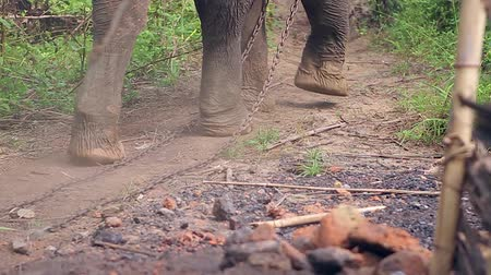 fil : Legs of huge elephant. Big elephant goes through the jungle. Wild elephant. Elephant dragging his chain. Stok Video