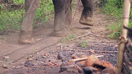 fil : Elephant goes through the village. Legs of an elephant with a chain close-up. Stok Video