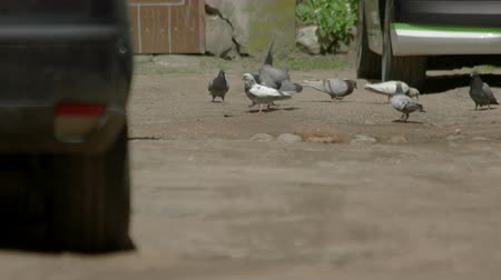 instincts : Pigeons fighting on the ground. Birds near a car. Hunger and aggression. Instincts of survival.