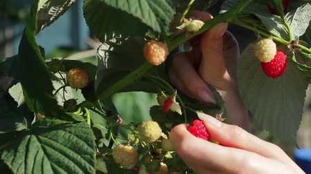 plucks : Ladys hand plucks berries. Raspberries in white bowl. Eat vitamins and stay healthy. Good to have a garden.