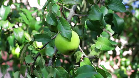 plucks : Hand plucks pear. Fruit on tree branch. Garden in the village. Juice and vitamins.