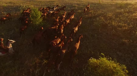 yaşama gücü : Aerial view of running horses. Horserider and herd. Stallions rush forward. Man controls the wild power. Stok Video