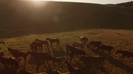 instincts : Herd of horses is galloping. Grassy hill and sun. Never late to change direction. Trust your instincts. Stock Footage