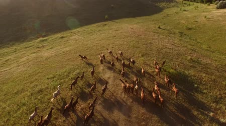 yaşama gücü : Horses running on huge meadow. Horseman and big herd. We are all born free. Obstacles dont matter.