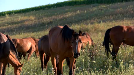 adapt : Horses eat grass. Group of animals on meadow. Herd outside the farm. Improve ecology and help wildlife. Stock Footage