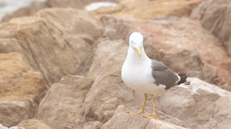 adapt : Seagull on the rocks. Gull is walking. Born to be free.