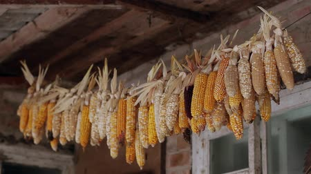 hacienda : corn drying in the open air under a canopy in the village Stock Footage