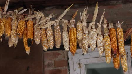 hacienda : dried corn is hanged under the roof of house