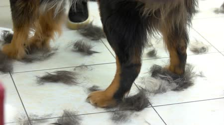 проливая : Dog paws and hair clippings. Animal in grooming salon.