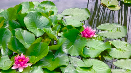 fazilet : Pink lotus flowers. Green leaves on water. In search of serenity.