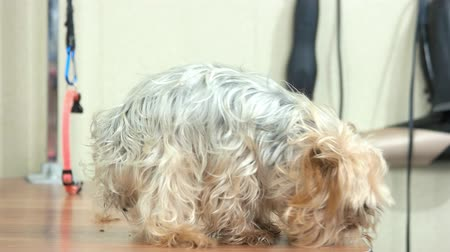 yorkie : Female hands stroking cute dog. Yorkshire terrier side view.