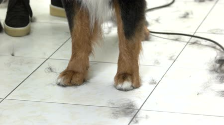 пролитие : Bernese mountain dog paws. Pet fur on the floor.