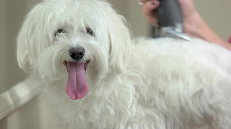maltština : Funny dog getting haircut. White maltese with tongue out.