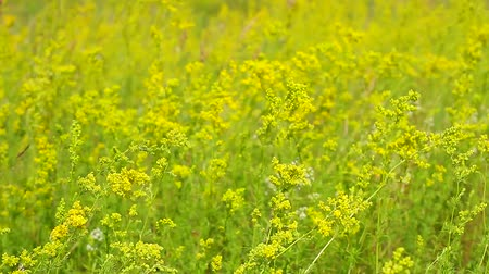 rapa : Wildflowers are moving in the wind. Summer is in full swing. Field in beautiful yellow flowers. Stock Footage