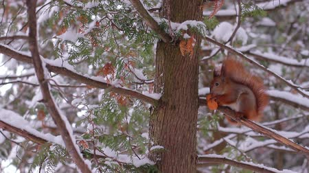 fofinho : Squirrel in the winter forest. Squirrel gnaws a nut on a tree. Winter forest. Squirrel on the fir-tree. Stock Footage
