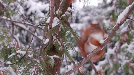 chipmunk : Squirrel jumps on the tree. Squirrel in the winter forest on a tree. Stock Footage