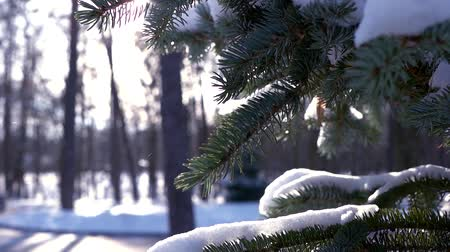 pichlavý : Spruce branches and snow. Evergreen tree macro. The cold season.