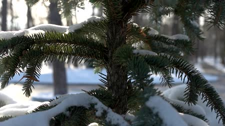 zmrazit : Spruce close up, winter. Coniferous tree and snow. Dostupné videozáznamy