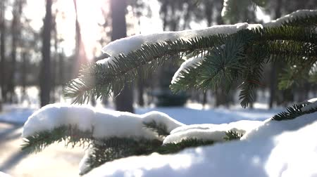 zmrazit : Spruce branches, winter. Coniferous tree close up. Forest in december.