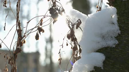 quebradiço : Dry plant trembling, winter. Sunlight and snow.