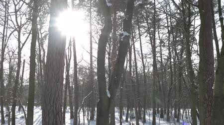 snowy background : Pine forest in winter. Trees and bright sun. Stock Footage
