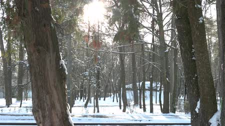 ormanda yaşayan : Snowy pine forest. Trees, snow and sun. Stok Video
